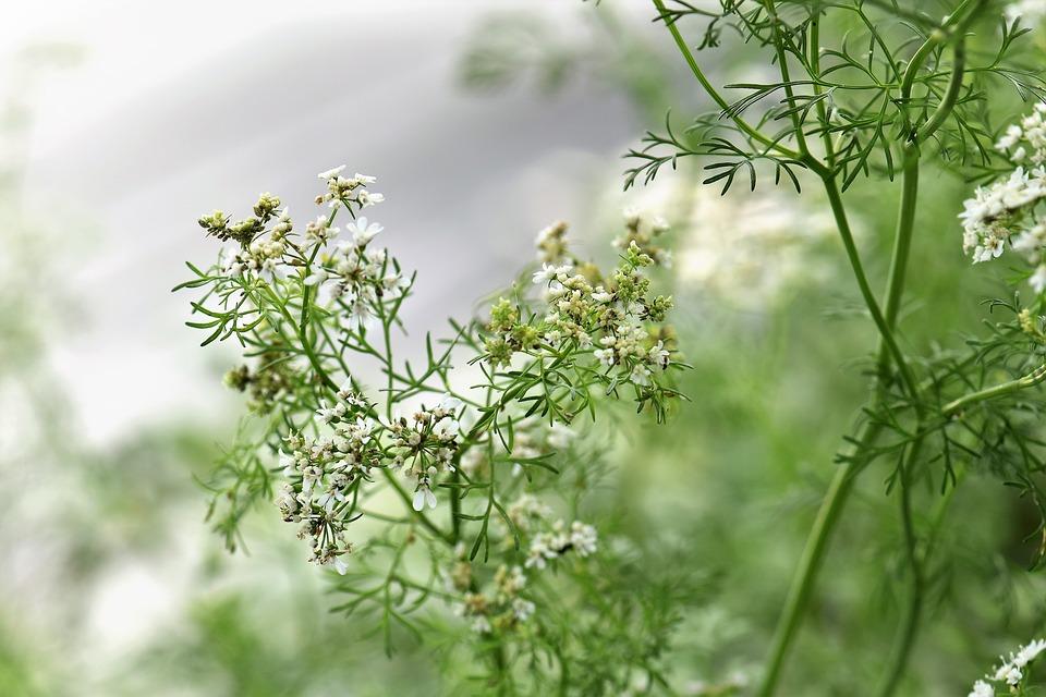 Кориандр: полезные свойства в KLETONIKA