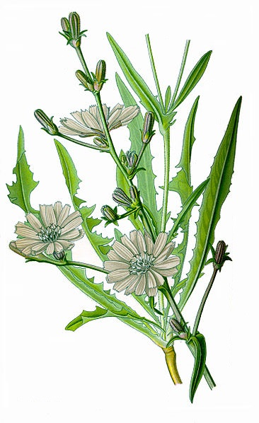 Лечебные свойства травы цикория
